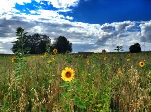 Sunflowerfeild